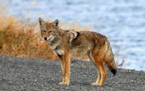 Coyote Mania Consumes Frisco