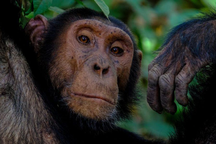 The Mission to Save Primates in Uganda