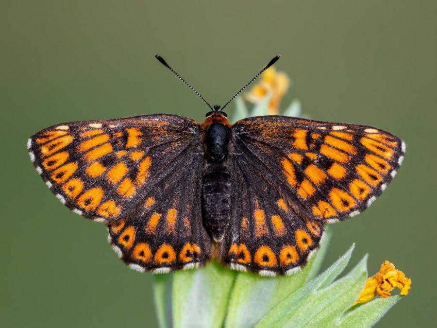 Duke Of Burgundy Butterfly; Saved!